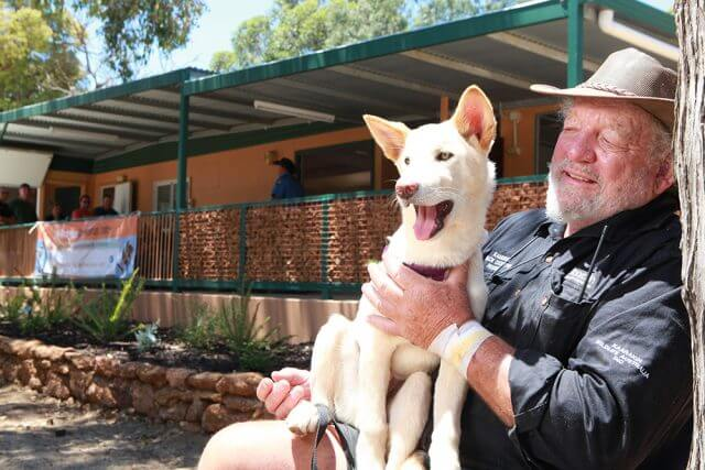 Bill Dewhurst with one of the dingoes at the newly opened education facility in Kaarakin black cockatoo conservation centre. Photograph — Matt Devlin.